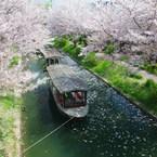 桜散る川で