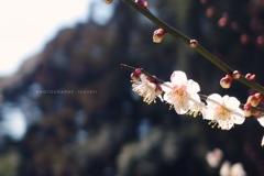 梅花を懐かしむ