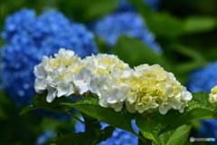 小田原城址公園の紫陽花