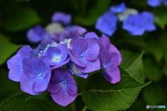ニコン横浜製作所前の紫陽花