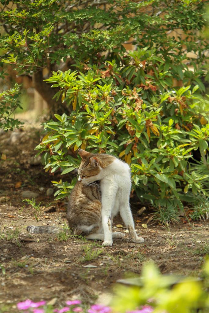 小江戸川越のスターバックス その9 中庭の猫