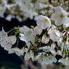 浜松町駅前の桜。G7Xで撮影。
