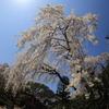 川越中院。しだれ桜全景