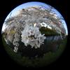 魚眼レンズで桜の花