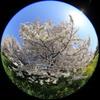 魚眼レンズで桜の木