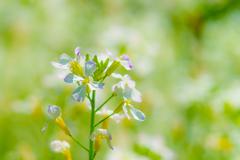 ~春日大社 萬葉植物園~大根の花