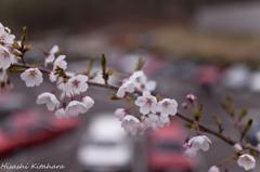 桜越しのスカイライン