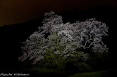 駒つなぎの桜②