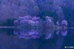 山桜の眠り