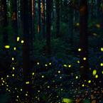 林道の蛍2
