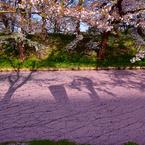 ひび割れた桜ロード