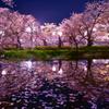 弘前公園夜桜