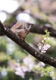 桜 三題 (来年に期待)