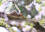 桜 三題 (桜でお昼寝)