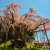 青空に映えて  ~ 紅枝垂地蔵桜 ~