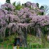 紅枝垂地蔵桜 2