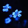 碧き静寂の輝花