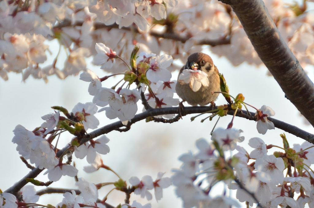 雀の桜画像