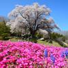 天照山桜 4