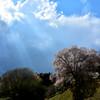 天照山桜 2