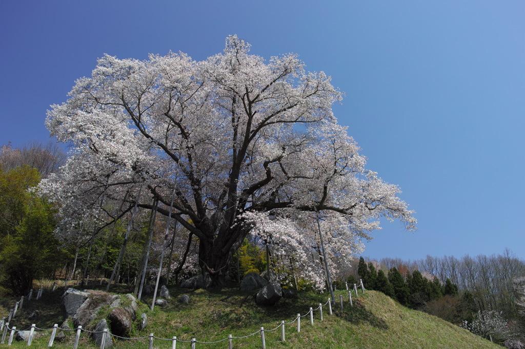 終春の巨桜