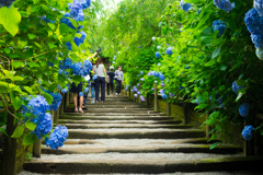 紫陽花の階段 II