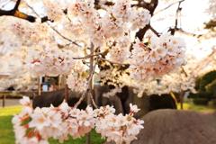 夕暮れの石割桜 I