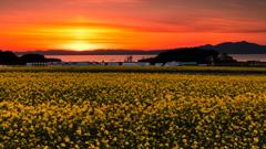 夕暮れの菜の花畑