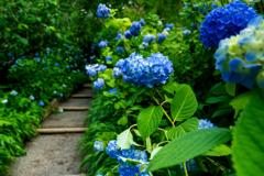 明月院ブルー VI