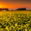 夕陽照らす菜の花畑