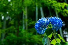 明月院ブルー I