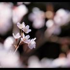 CANON Canon EOS 5D Mark IIで撮影した植物(sakura)の写真(画像)