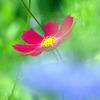 春咲きコスモス