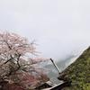 三多気の桜Ⅱ