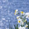 水仙と海の輝き
