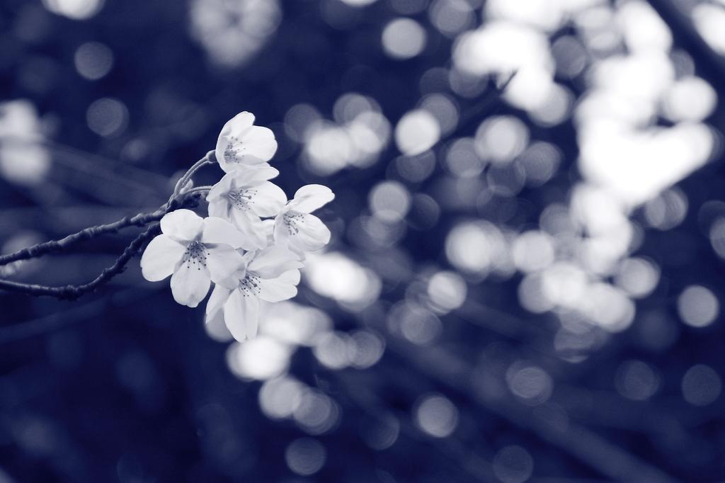桜シャワー