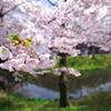 桜、盛岡市内