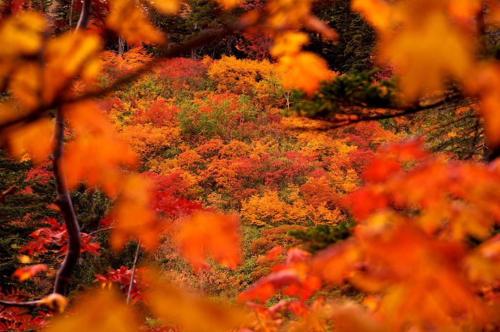 大雪山紅葉