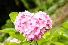 紫陽花's LOVE