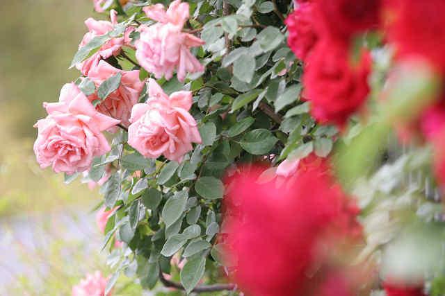 赤いバラの向こうは・・・