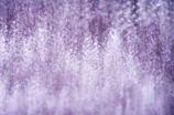 wisteria shower