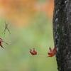 蜘蛛の紅葉狩り