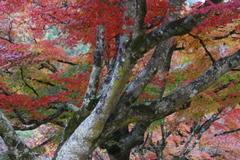 大樹の紅葉