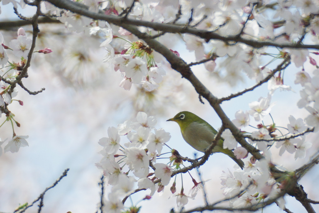 「桜とメジロ」さん。