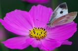 コスモスと蝶チョ 1