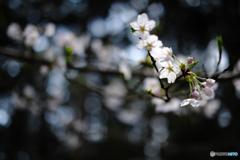 杉山を背に咲く