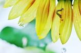 向日葵の採寸
