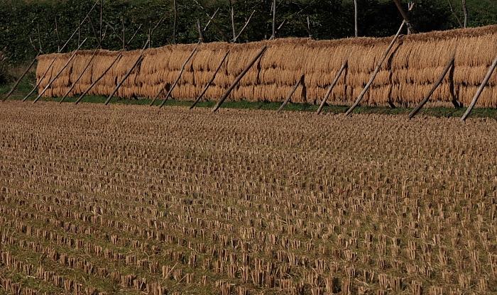 竿に並んだ稲