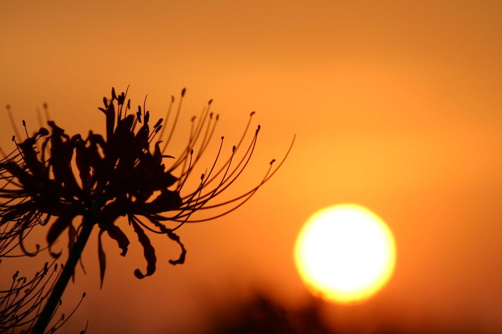 夕日の彼岸花
