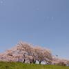 見納めの桜